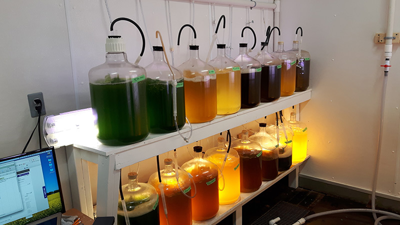 Various algae tanks with different coloured algae