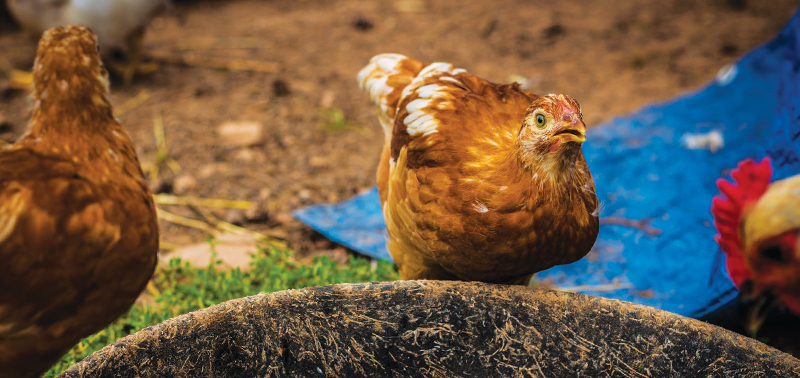 Upclose of laying hens
