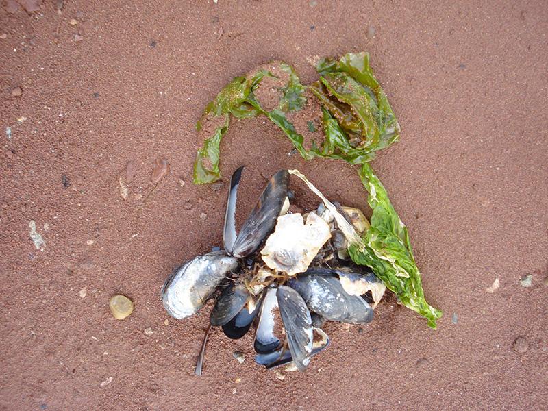 Sea lettuce and seashells on the sand.